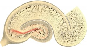 research-main:golgi-1894-fig24-hipp1300x703.jpg